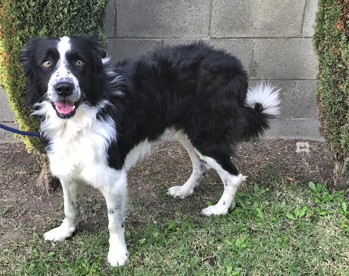 Border Collies In Need Of Adoption