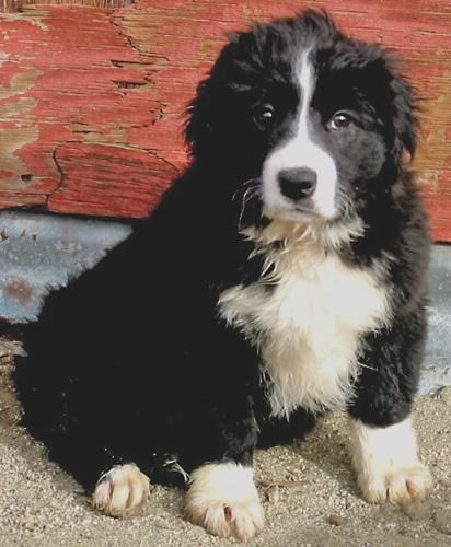border collies in need of adoption in southern california